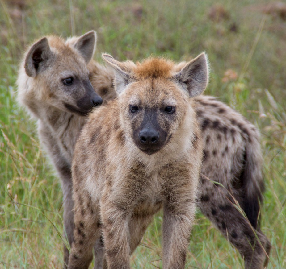 Two young Brown Spotted Hyena that was sighted in the Kruger National Park