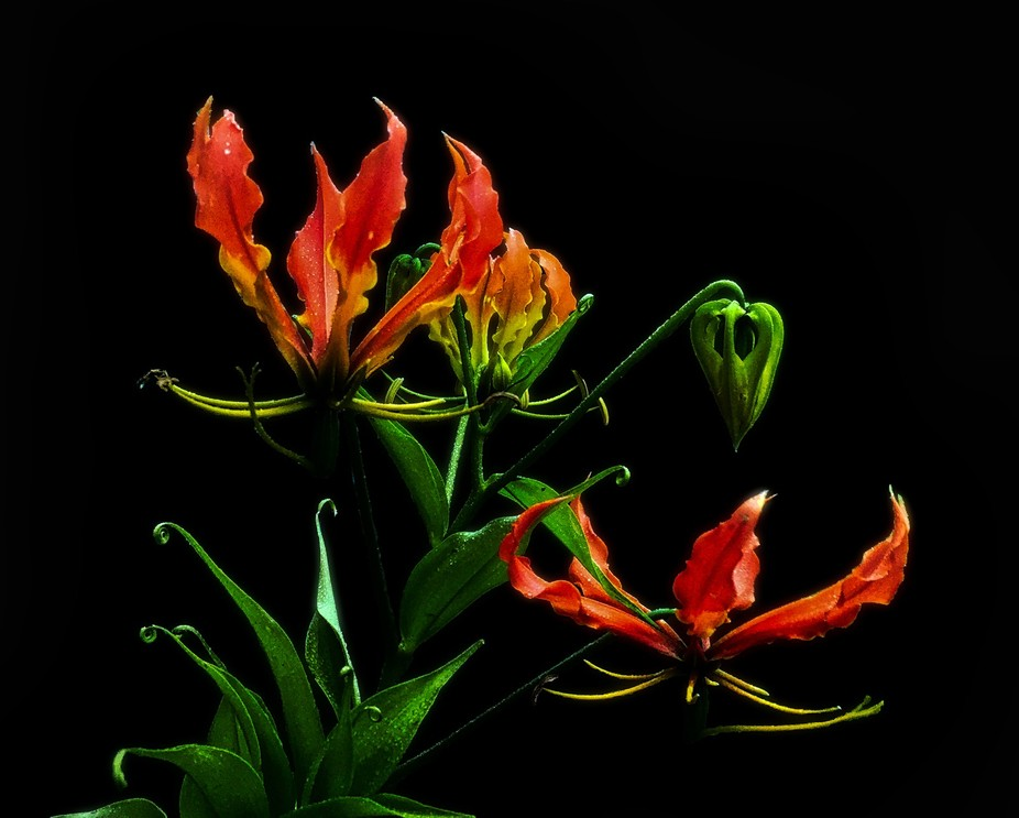 An indigenous climbing lily species of Southern African and the national flower of Zimbabwe,