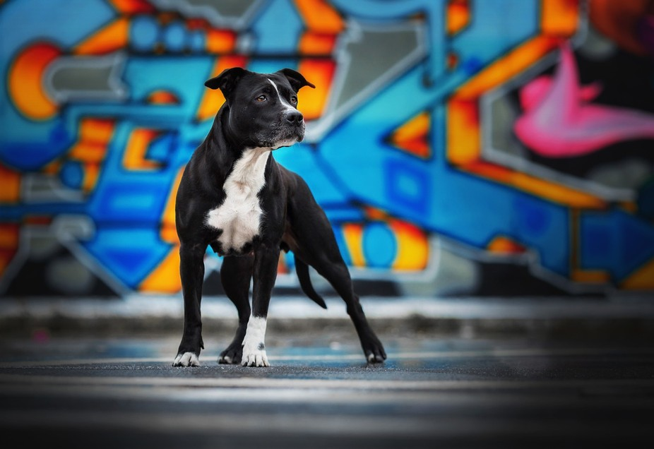 Elli an American Staffordshire Terrier in a Graffitipark. Beautiful Girl