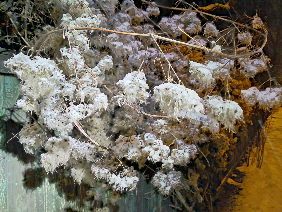 fluffy climbing plant in winter night