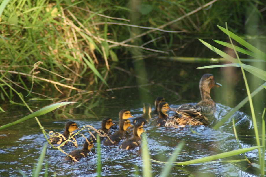 Ducklings are on their way to the big lake.