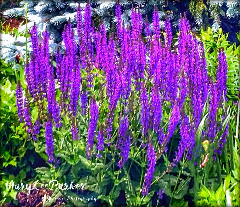 A perennial version of the popular Blue Lupine, Wild Perennial is known for its rich purple color...