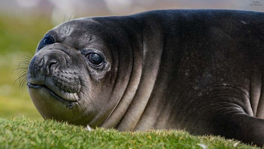 how could you say no to these puppy eyes? Elephant seal pup @ Salisbury Plain, South Georgia.