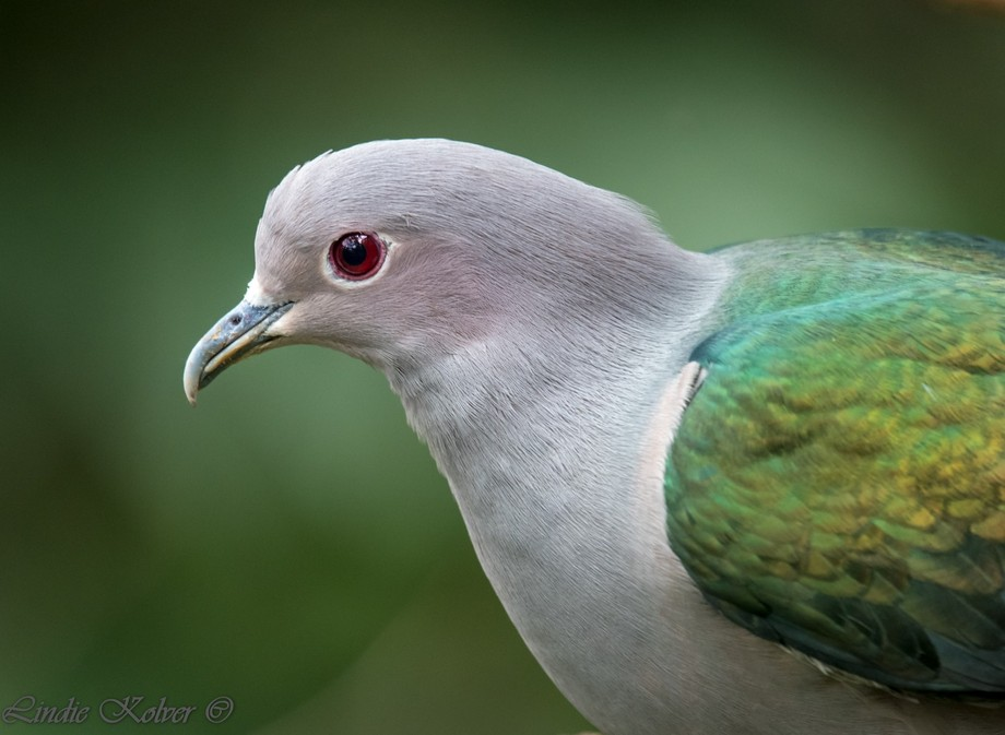 Imperial Pigeon ♂