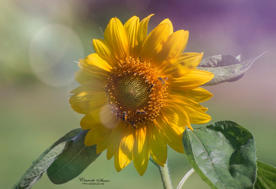 Sunflower with Bees