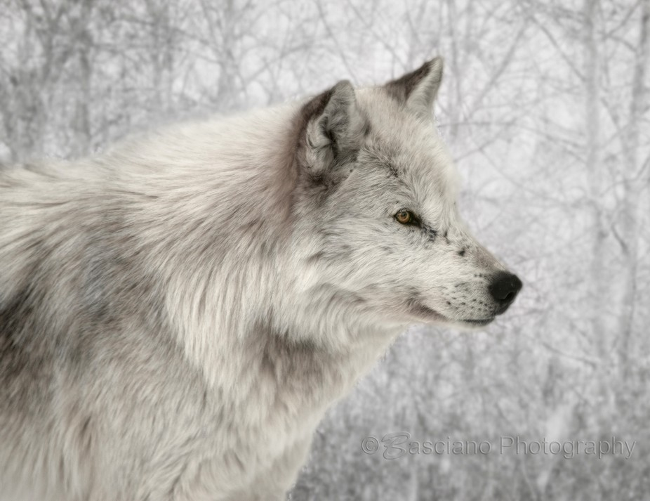 Winter Wolf  This is Smudge. He was the alpha at the Haliburton Forest & Wild Life Reserv...