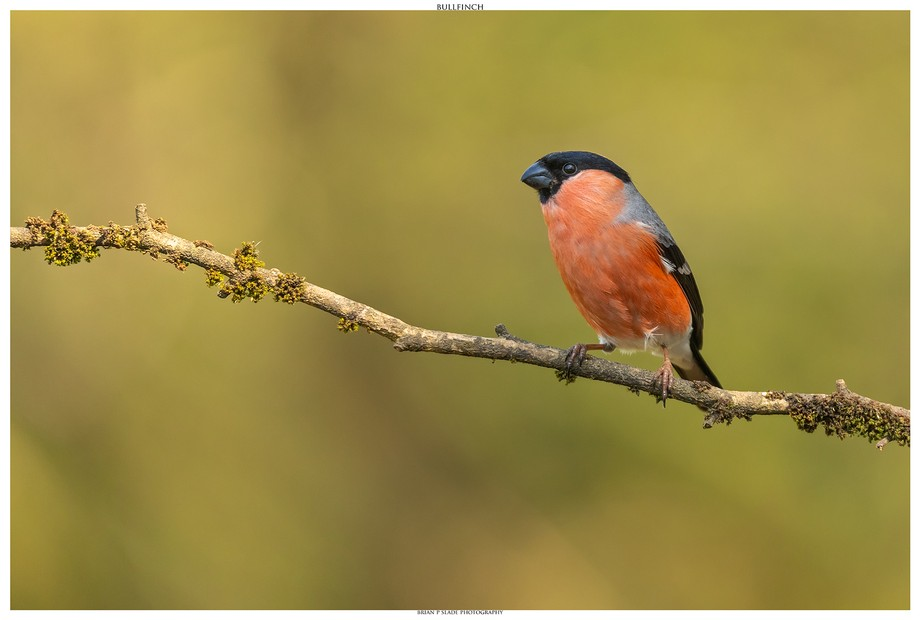 The Bullfinch - Quite possibly my favourite UK bird and what a stunner to look at.