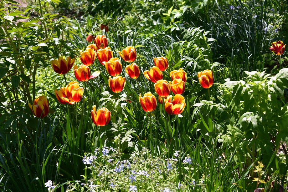 Tulips at Mt. Vernon today, April 30, 2018