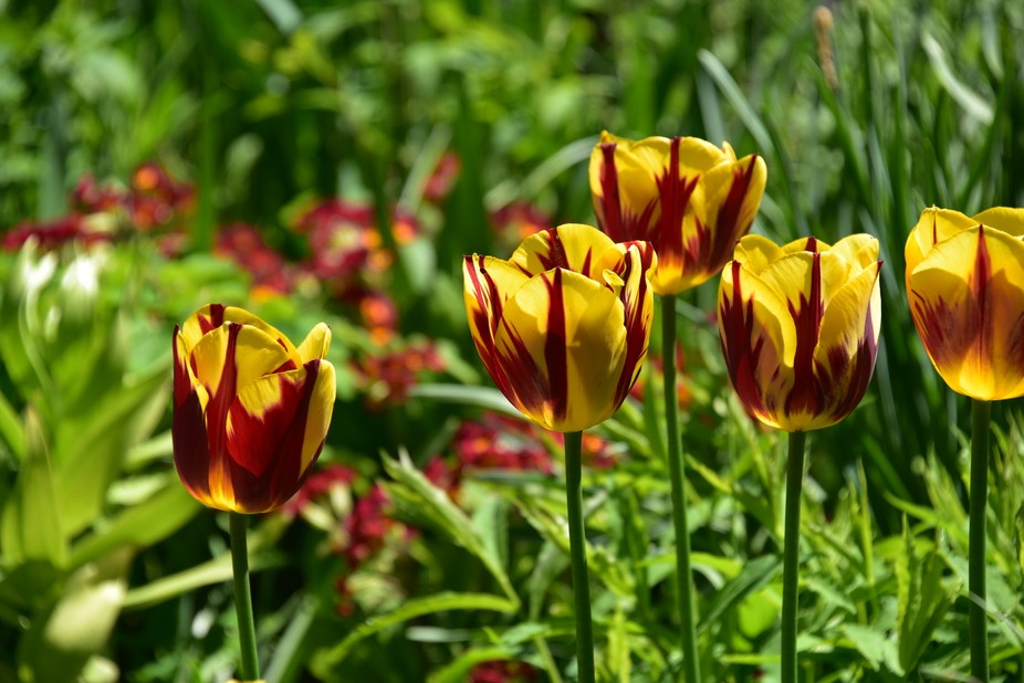 late spring tulips in the garden