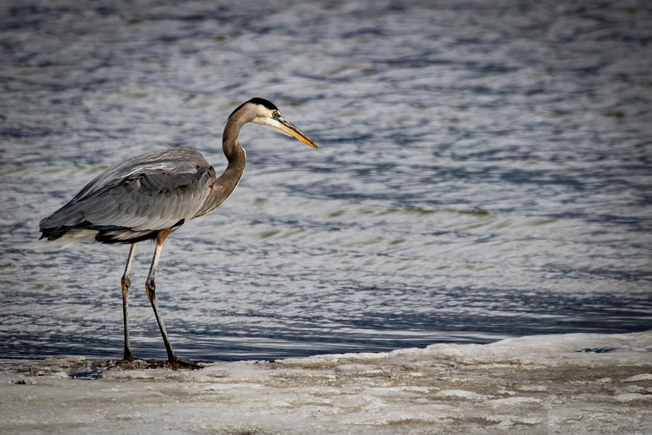 We have these Great Blue Herons the year-round.