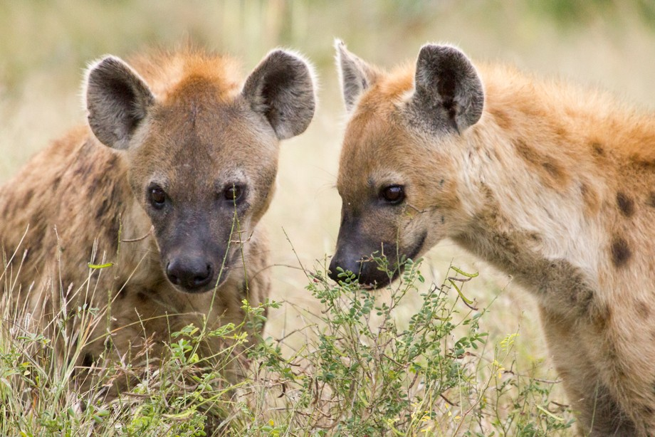 Hyenas are smelling something on the grass