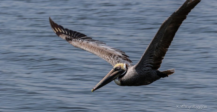 Pelican performs a close fly-by