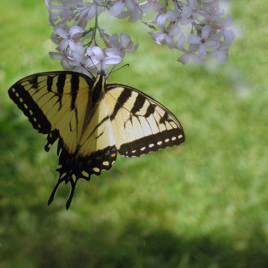 A butterfly machaon balancing on a lily. I also like the balance between the light and shadow in ...