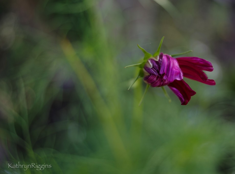Cosmos begins to stretch her petals as she awakens early in the morning